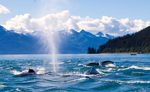 whale3, whale watching tour juneau with Alaska Shore Tours
