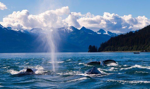 Whales, whale watching tour juneau with Alaska Shore Tours