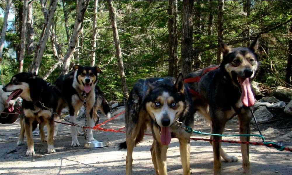 Musher S Camp Sled Dog Discovery Skagway