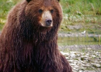 Admiralty Brown Bear Viewing & Kayak