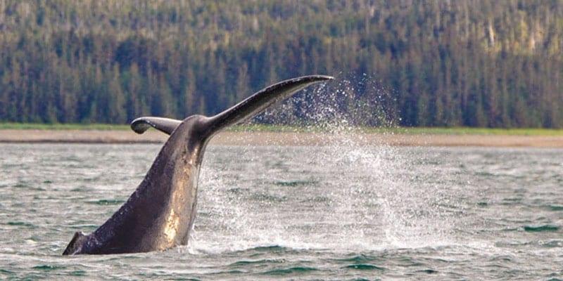 Juneau Whale Watching Alaska Family Tours