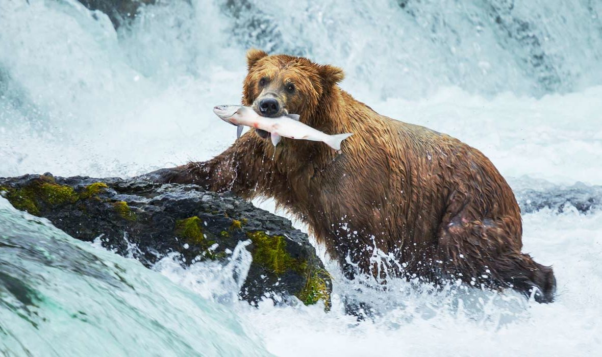 Where to See Bears in Alaska with Alaska Shore Tours