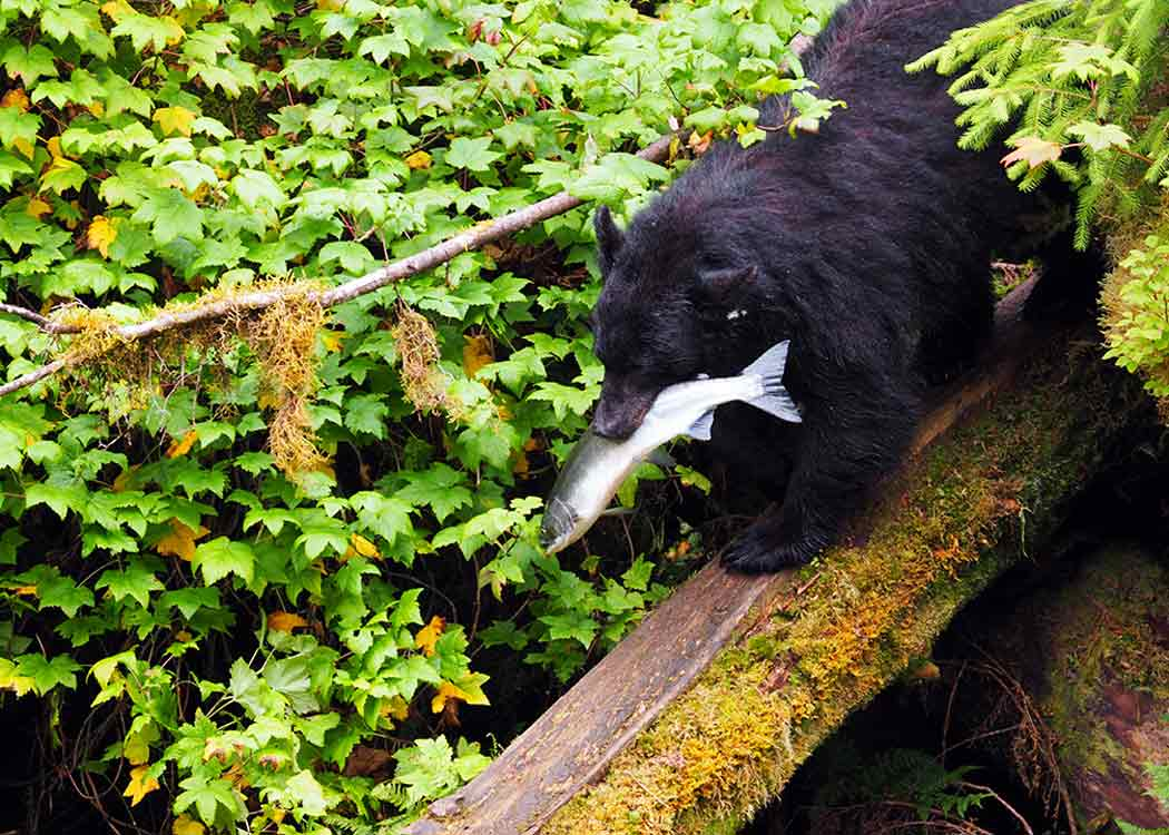 Traitor's Cove Bear Viewing Tour with Alaska Shore Tours