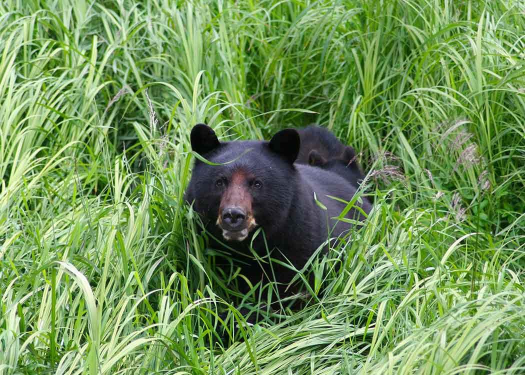 Black Bear & Wildlife Exploration with Alaska Shore Tours